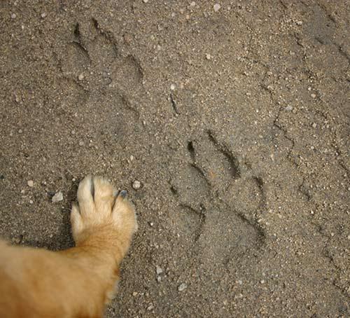 huella de perro real