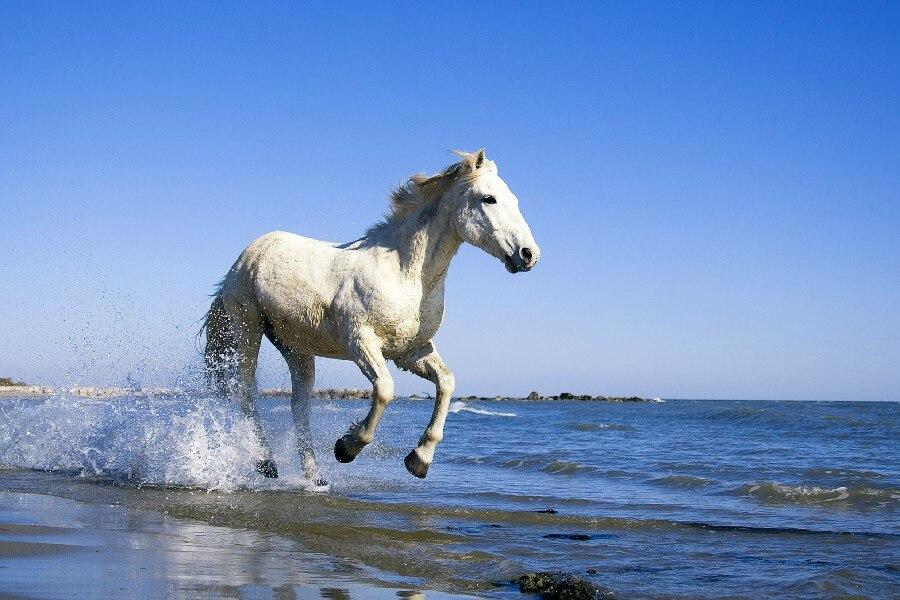Caballo libre blanco en el mar