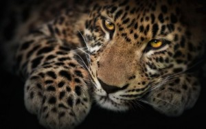 leopardo-11165-1920x1200__wallpaper_480x300
