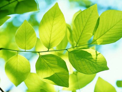 fondo de pantalla hojas verdes