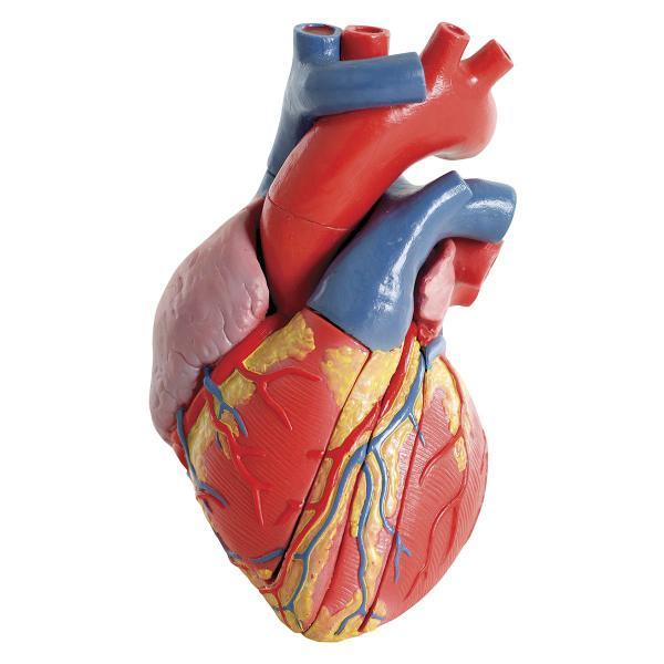 corazón 3d anatomía del corazón humano en multimedia
