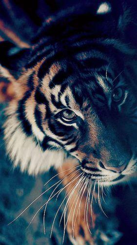 Tigre para Celular