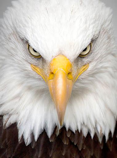 Fondo de Aguila para Celular