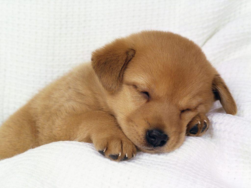 Wallpaper de perrito durmiendo