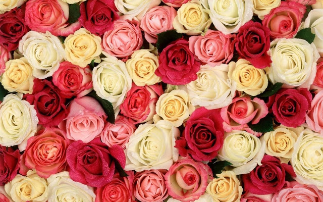 wallpapers rosas rojas