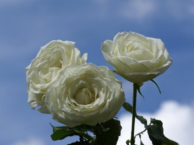 Fondo de cielo rosas blancas