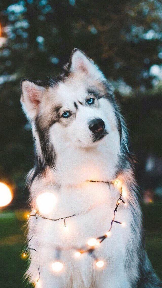 Fondo de pantalla de un husky