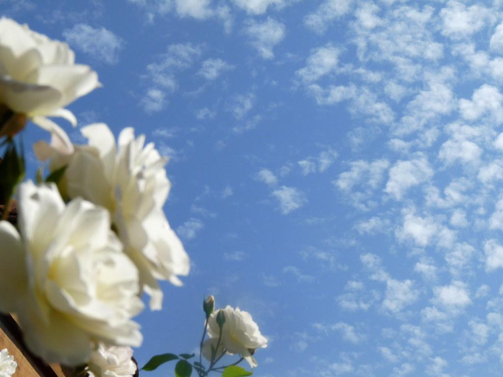 Fondo de rosas blancas al cielo