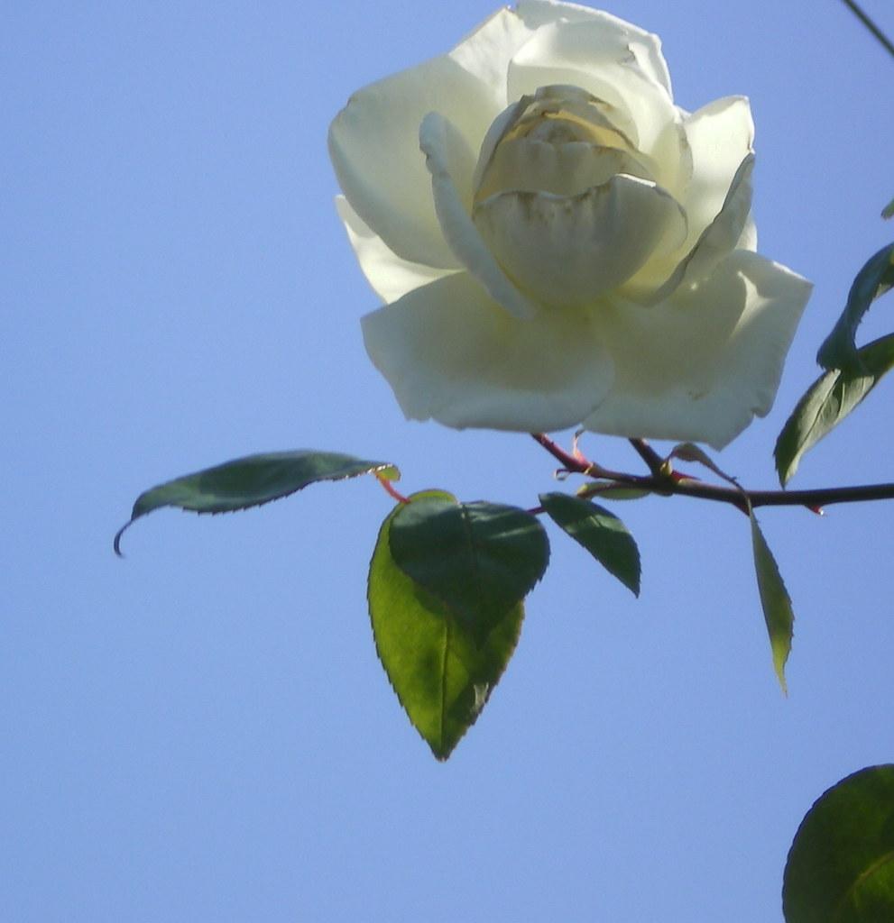 Al cielo rosa blanca