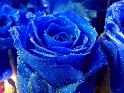 wallpapers de rosas azules