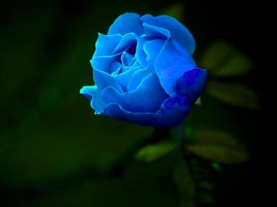 fondos de pantalla de rosas azules