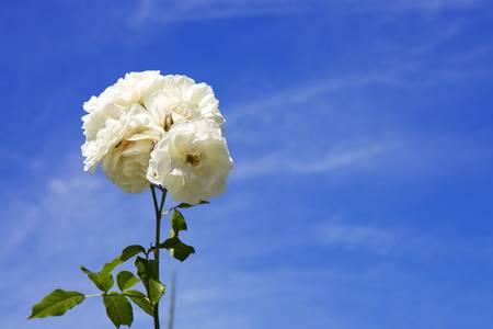 Rosas Blancas al cielo