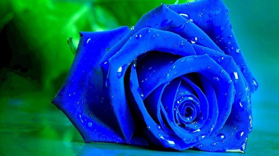 Rosa brillante al suelo