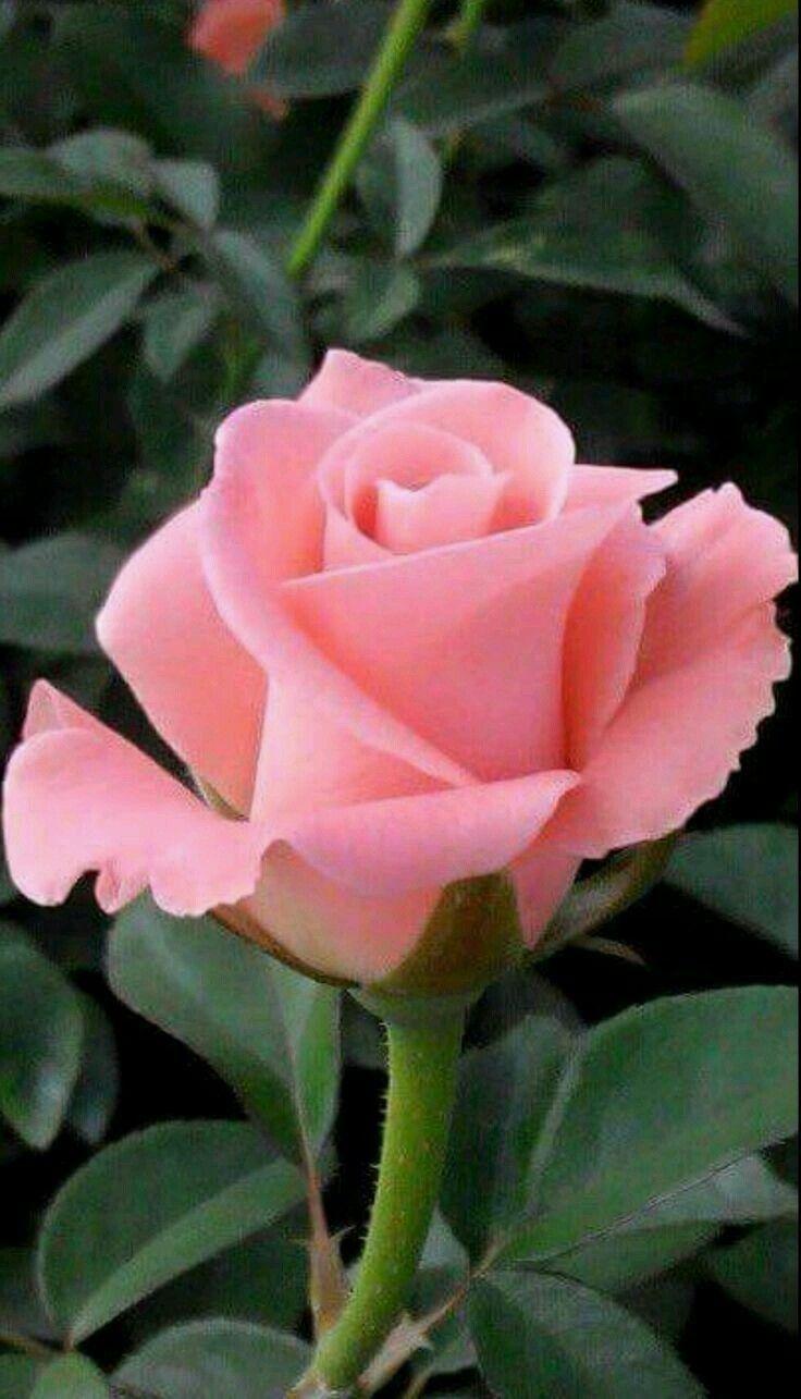Imagen de rosa rosada
