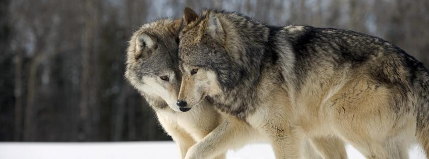 imagenes de lobos para portada de facebook