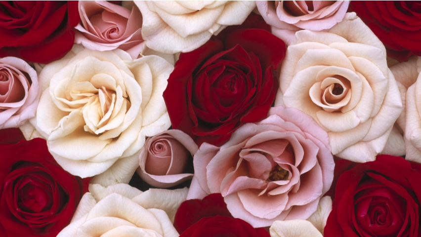 Wallpapers rosas blancas y rojas