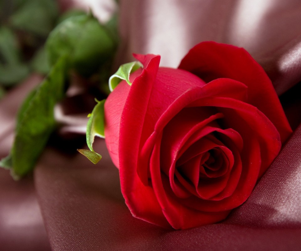 wallpapers de rosas rojas