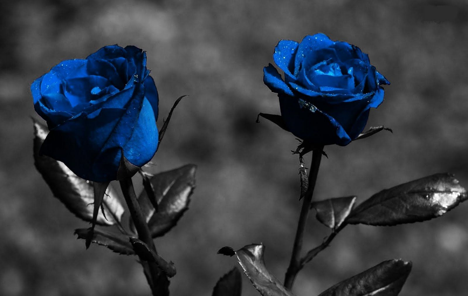 Rosa azul con negro