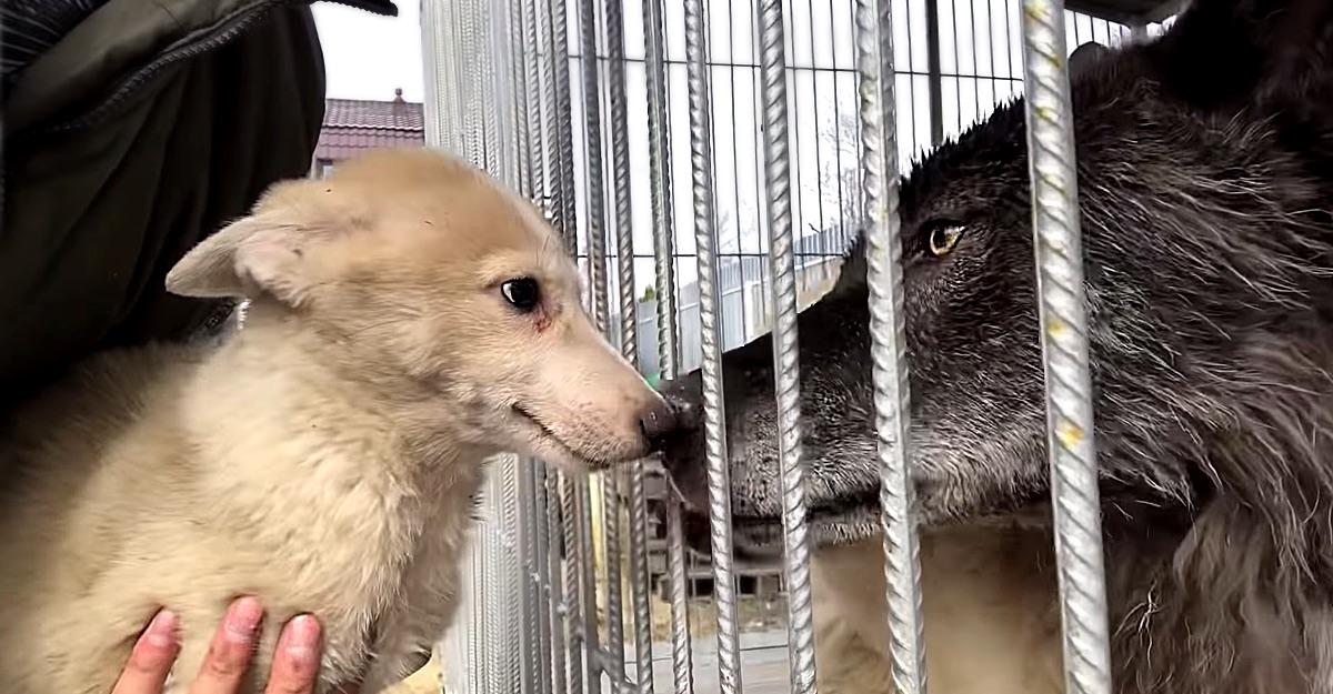 lobos siberianos cachorros