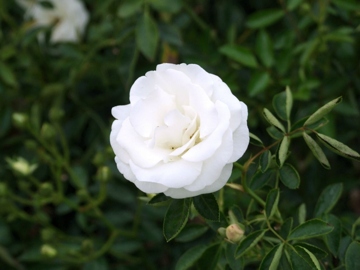 Rosaa blanca