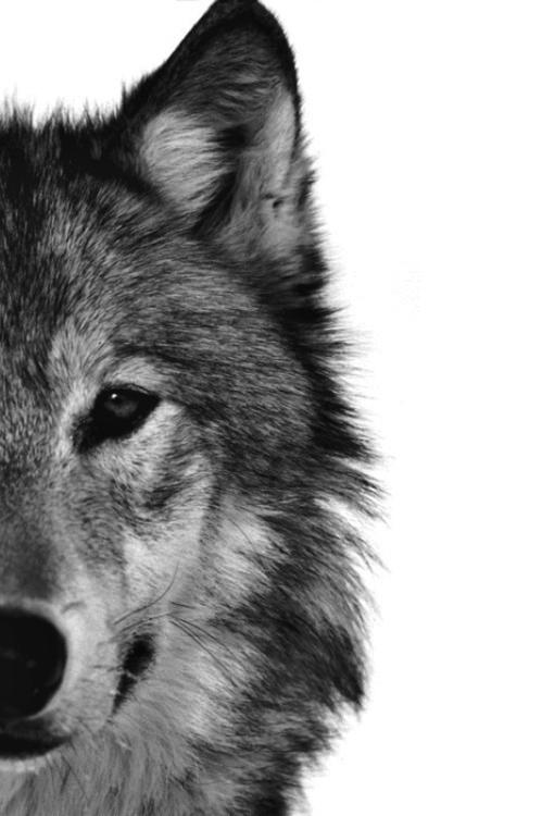 imagenes de lobos solitarios para portada de facebook