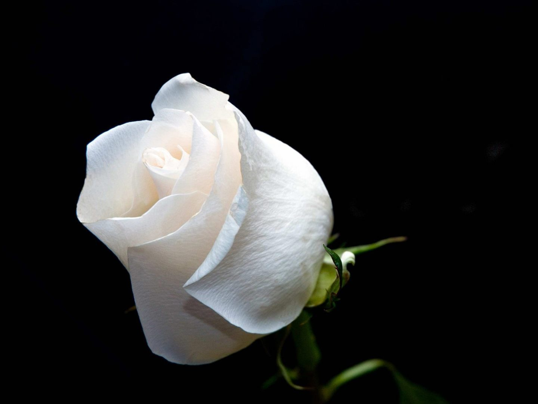 Wallpaper Rosa Blanca