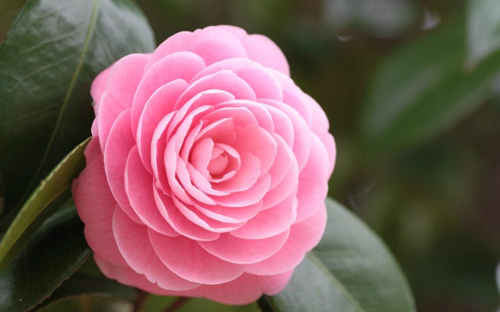 fotos de flores rosas paisajes para fondos de pantalla