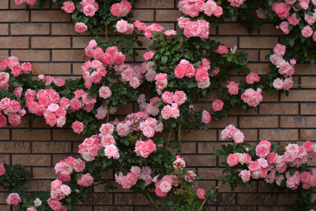 fondos de pantalla color rosa palo