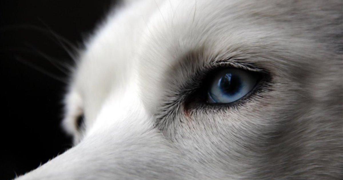 Ojos de lobos siberianos