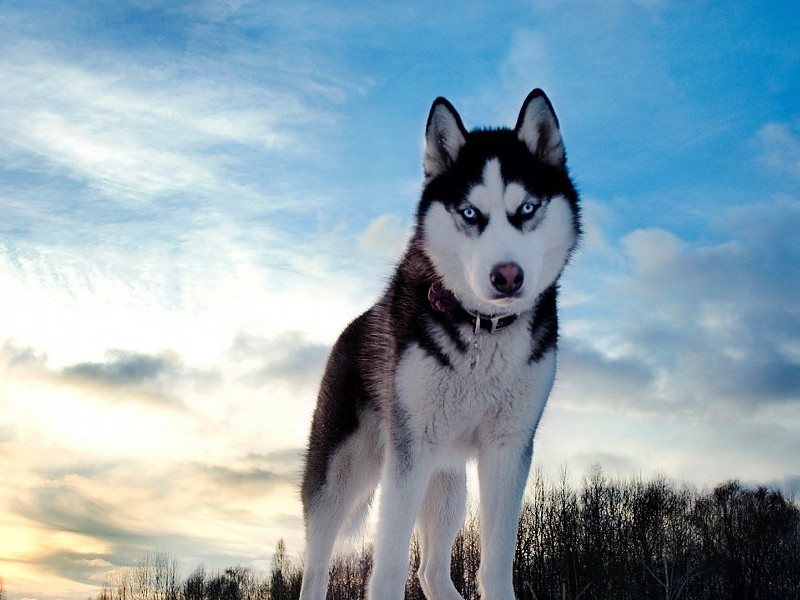 fondos de pantalla de lobos siberianos