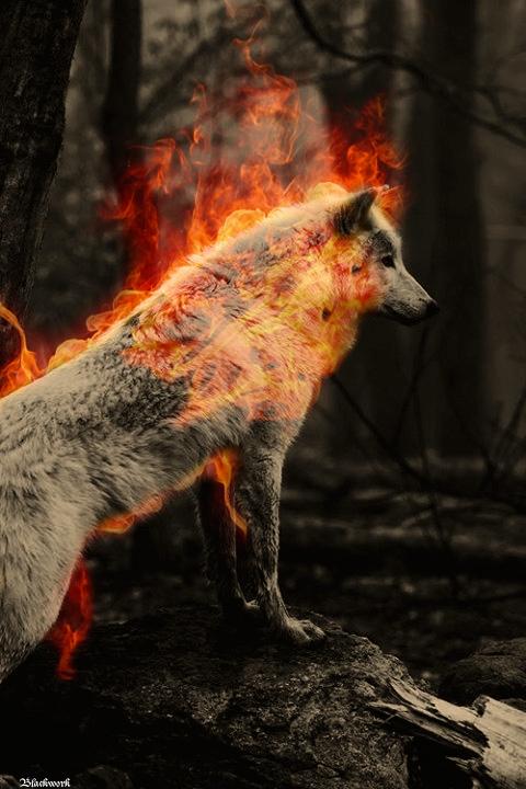 imagenes de lobos con fuego