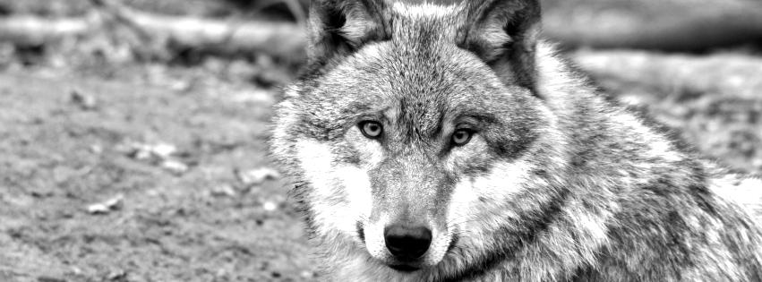 imagenes de hombres lobos para facebook