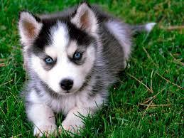 Husky bebe