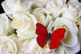Rosas blancas con mariposa roja