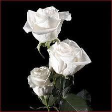 Rosas blancas con fondo negro