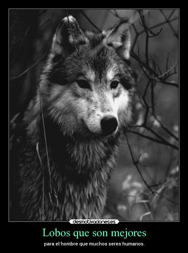 las mejores imagenes de lobos salvajes