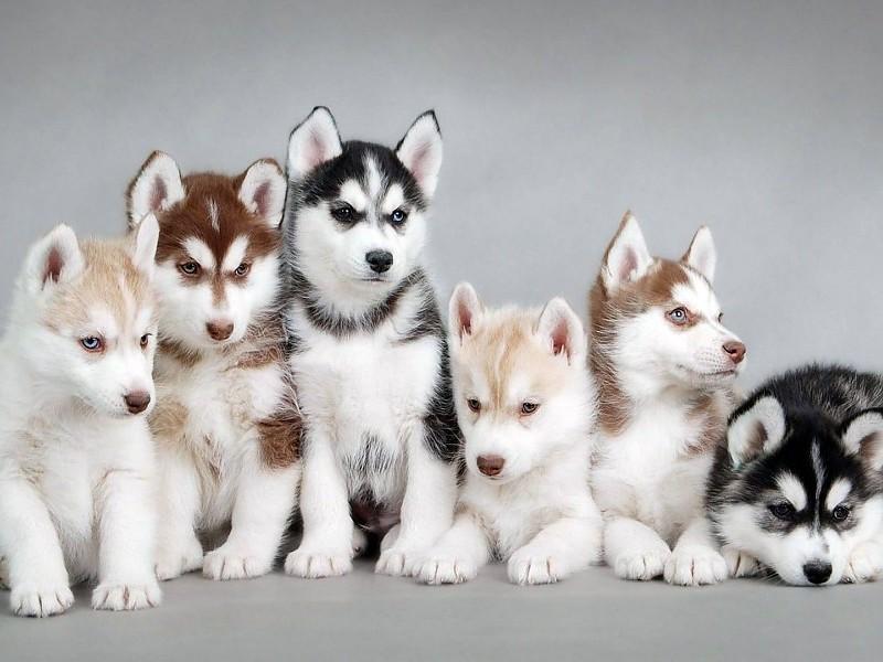 fondos de pantalla lobos siberianos