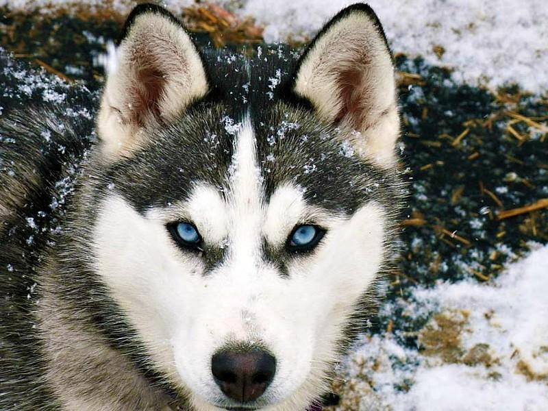 fondos de pantalla de lobos gratis