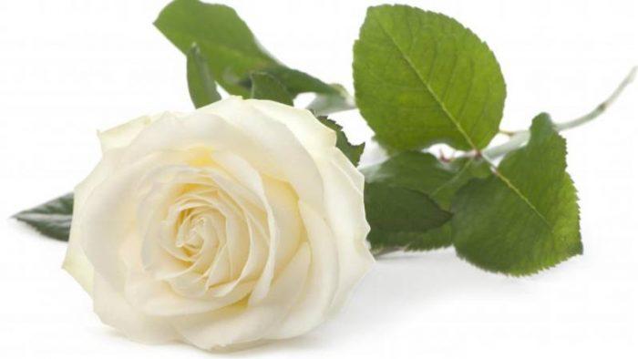 Imagen de rosa