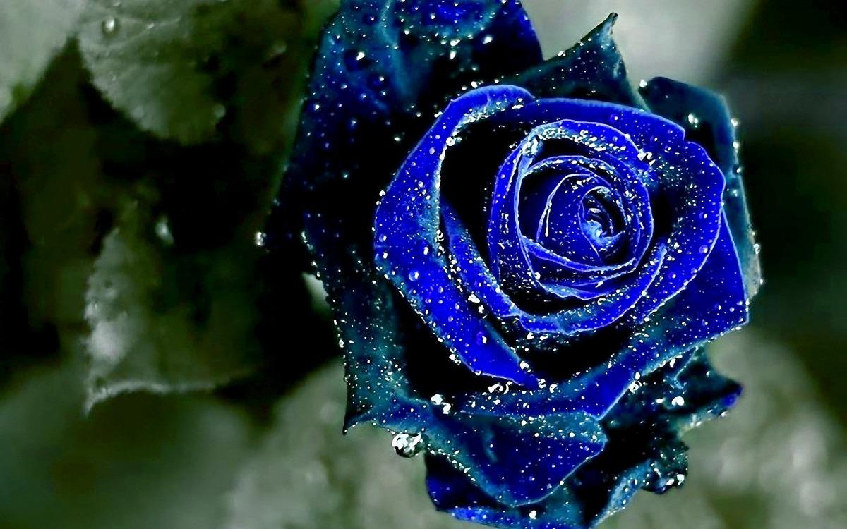 Rosas negras con azul