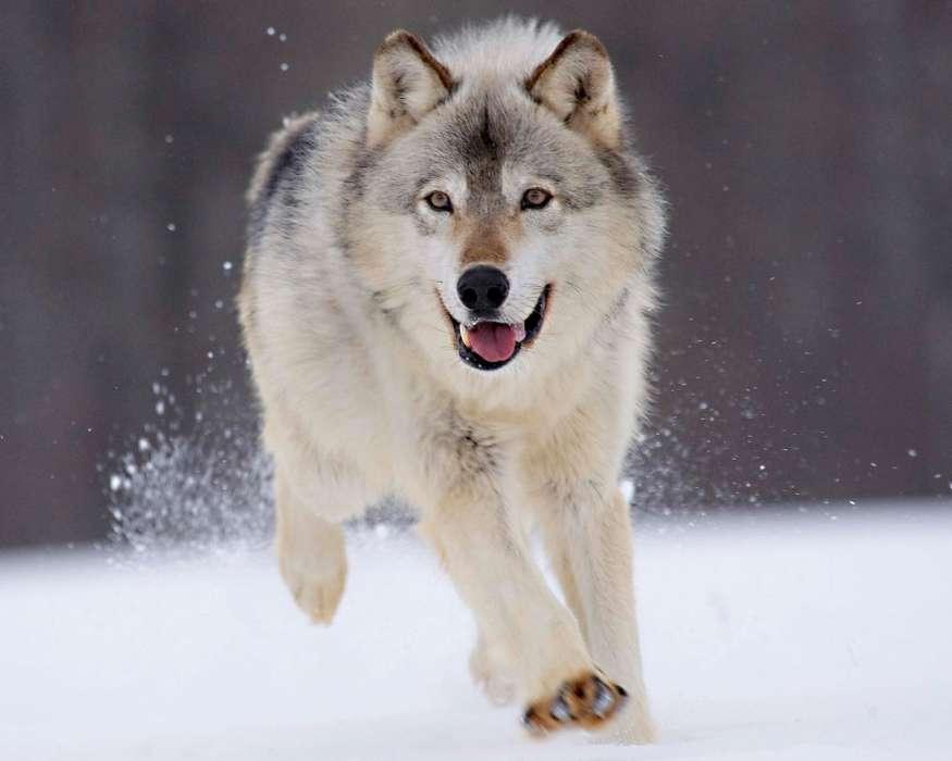 Fondos de lobosgratis