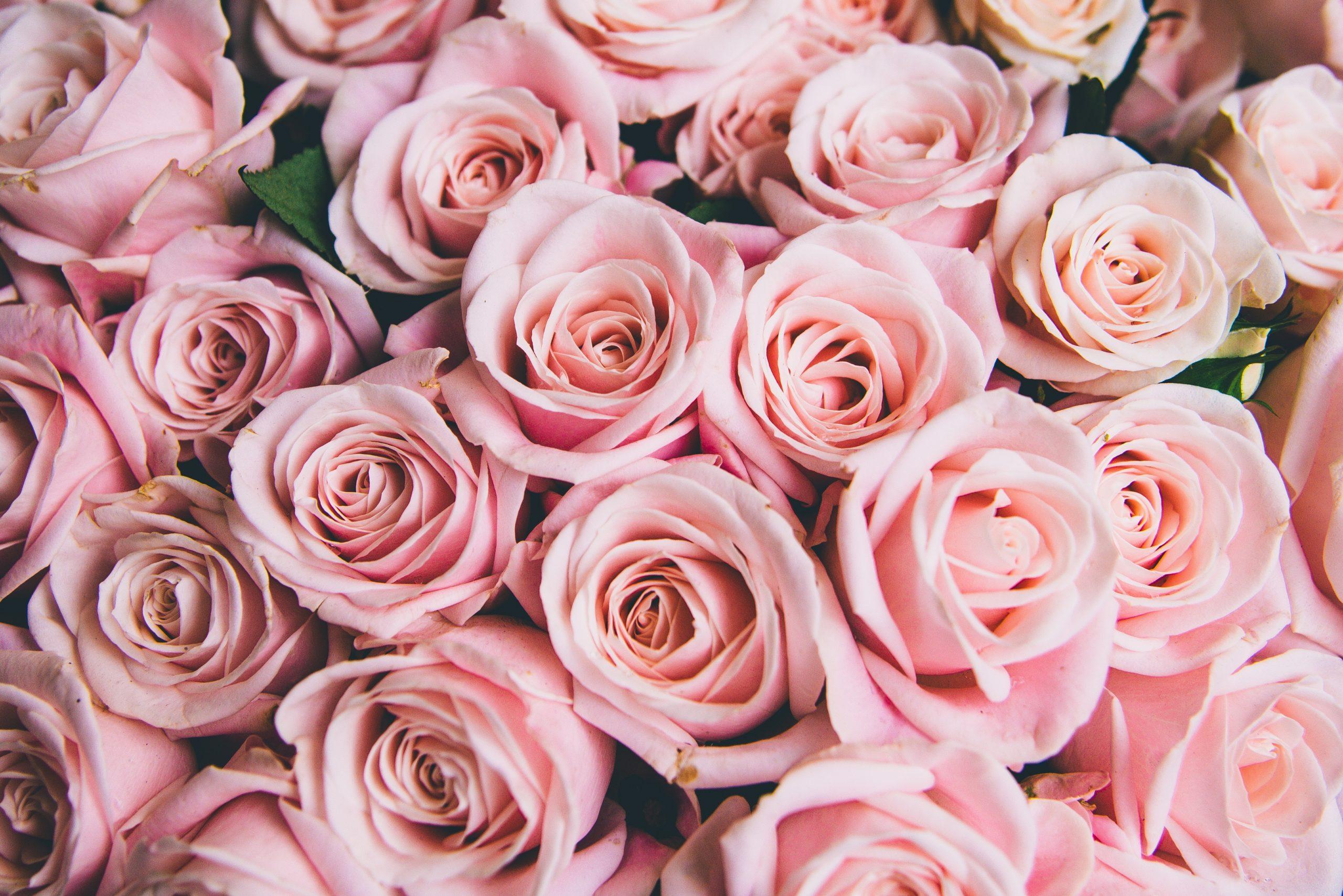 Wallpaper de rosas rosadas