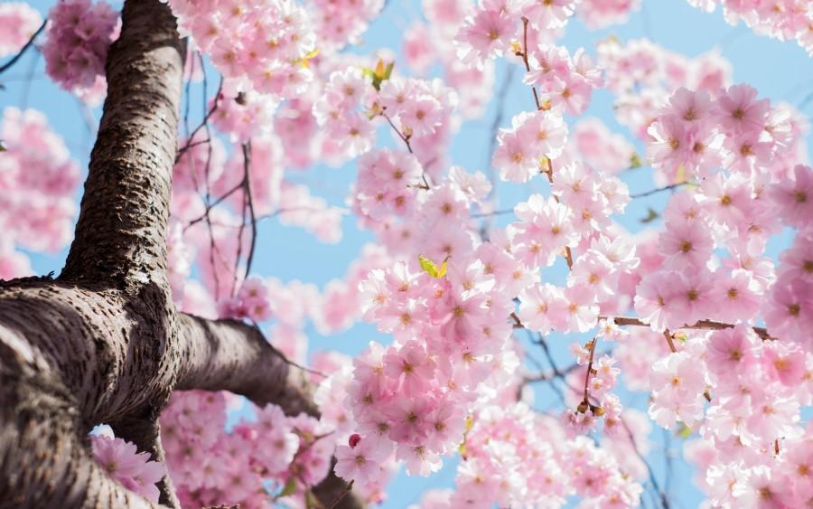 Imagen de flor de cerezo pink