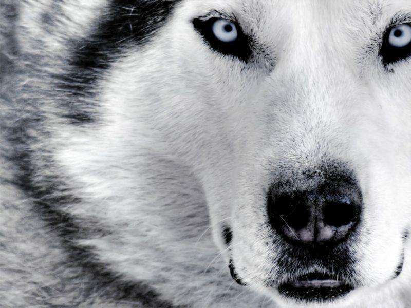 Fondos pantalla lobos asesinos