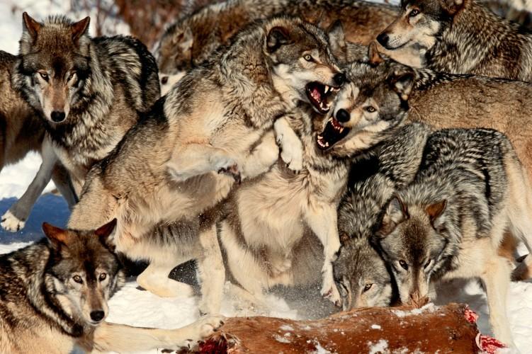 imagenes de lobos salvajes animados