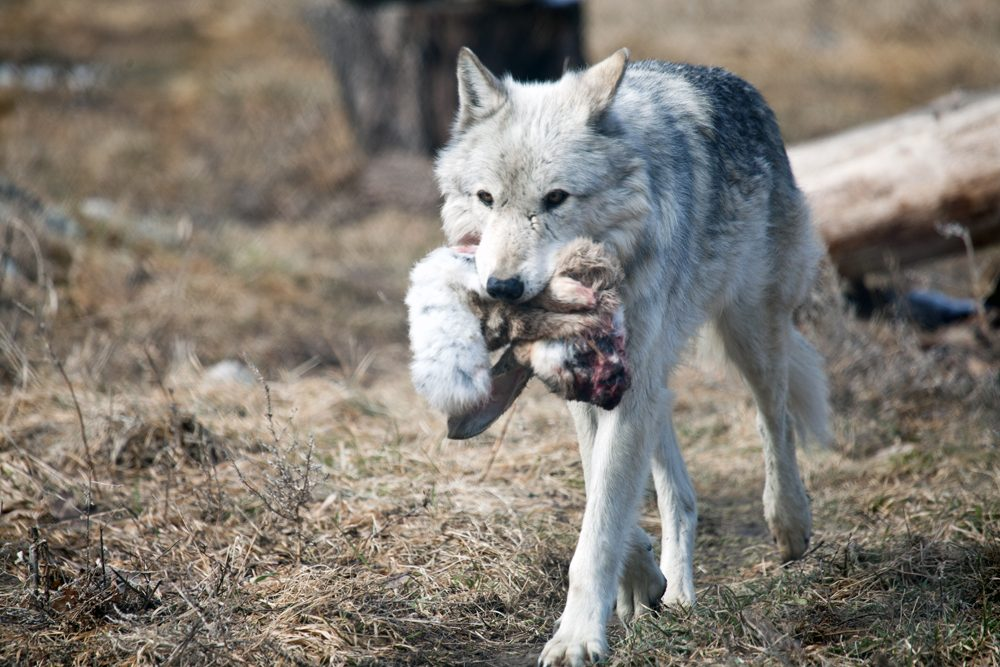descargar imagenes de lobos solitarios