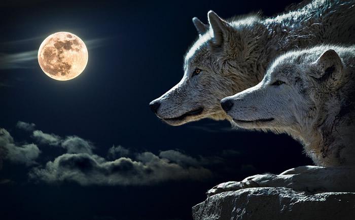 descargar gratis imagenes de lobos enamorados