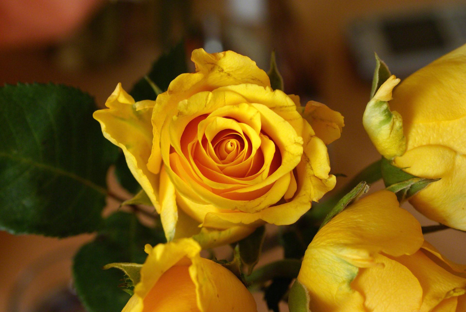 Wallpapers de rosas amarillas