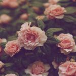 Wallpapers de rosas vintage