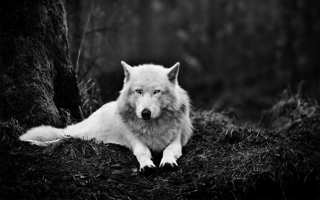 wolf wallpaper hd 1366x768